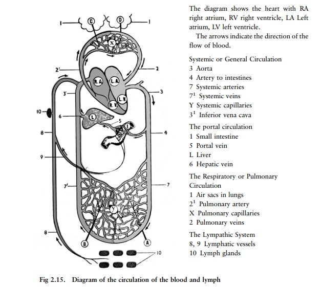 The blood vessels - Circulation of the blood