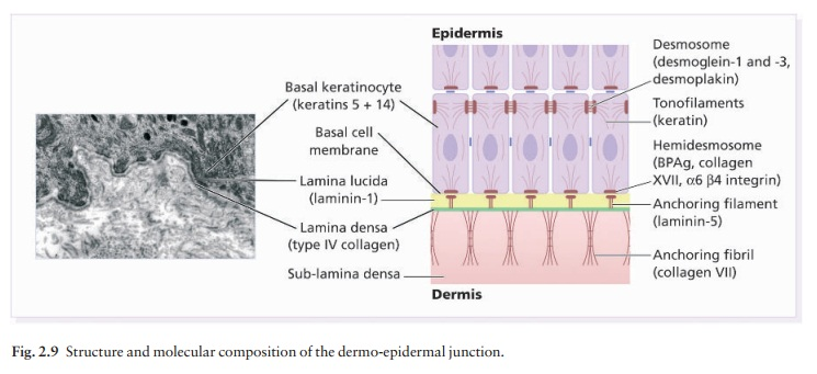 The dermo-epidermal junction