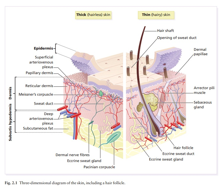 The function and structure of the skin