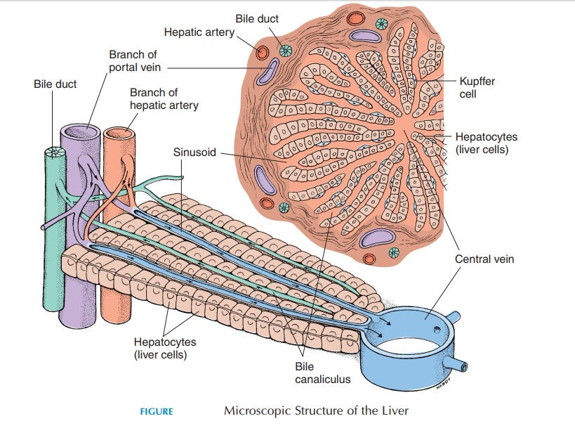 The liver - Structure and Function of Digestive System