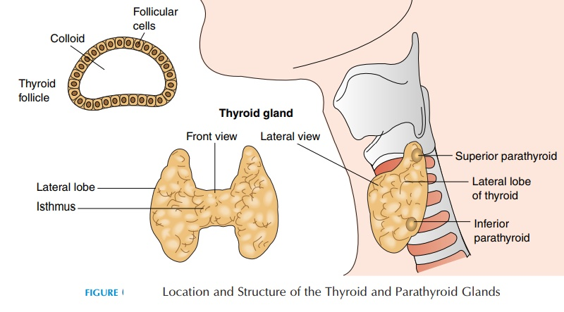 Thyroid Gland - The Endocrine Glands