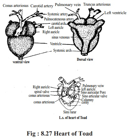 Toad: Blood vessels(Artery, Vein and Capillary)