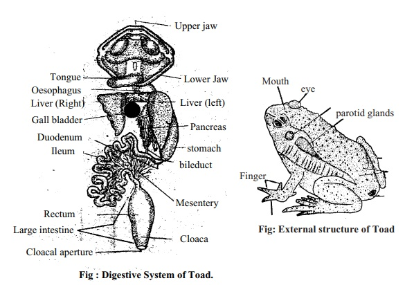 Toad: External Features, Digestive System, Method of Dissection, Skeleton