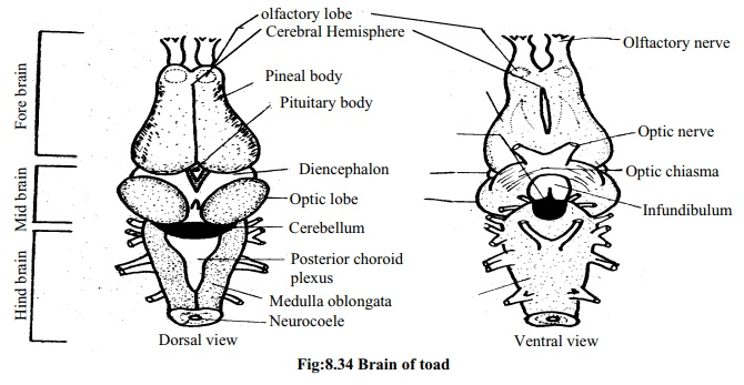 Toad: Structure of brain