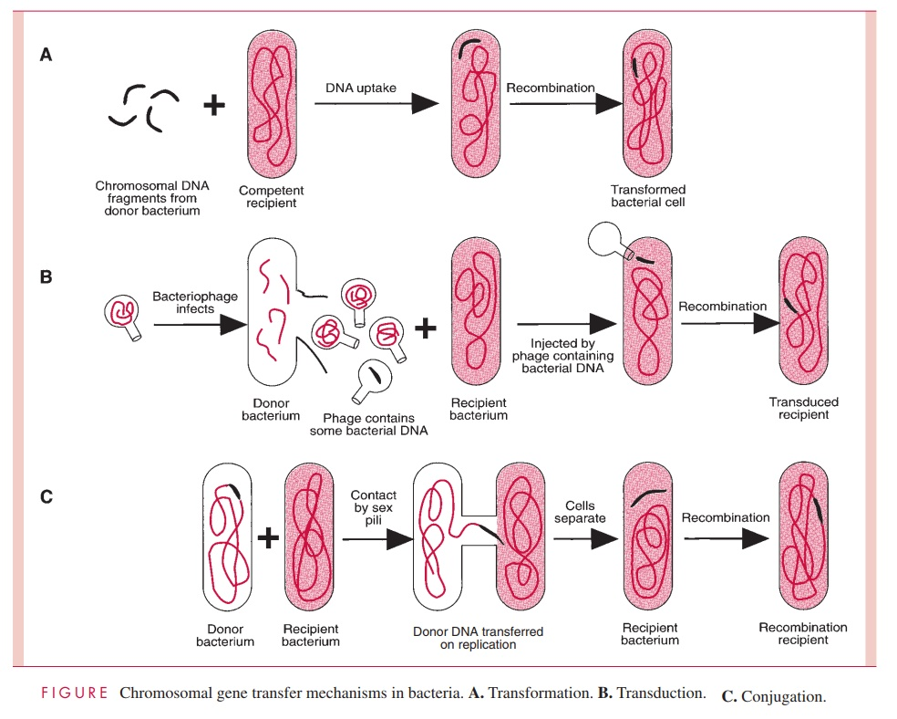 Transduction - Genetic Exchange in Bacteria