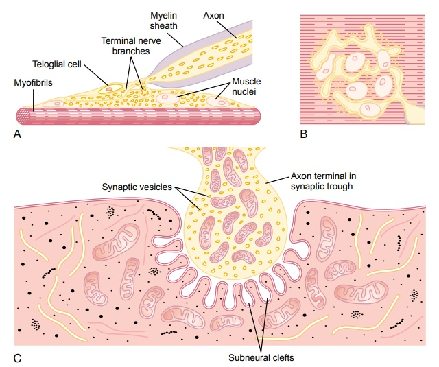 Transmission of Impulses from Nerve Endings to Skeletal Muscle Fibers: The Neuromuscular Junction