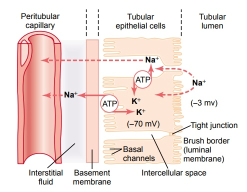 Tubular Reabsorption Includes Passive and Active Mechanisms
