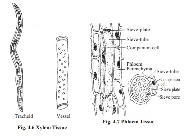Types of Complex permanent tissue and its Functions