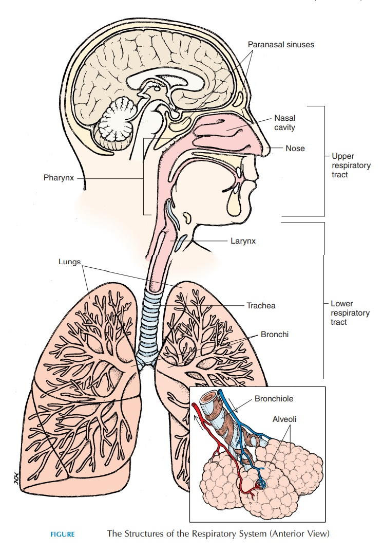 Upper Respiratory Tract - Anatomy of the Respiratory System