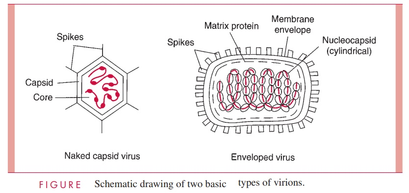 Virion Size and Design - Viral Structure