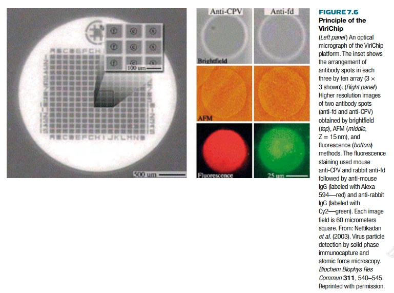 Virus Detection via AFM