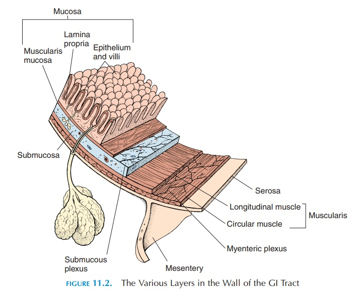Wall of the Digestive Tract