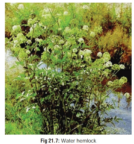 Water Hemlock(Cicuta maculata.) - Spinal and Peripheral Neurotoxic Agents