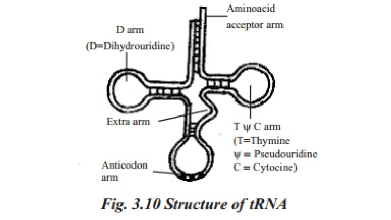 Structure of RNA and its types