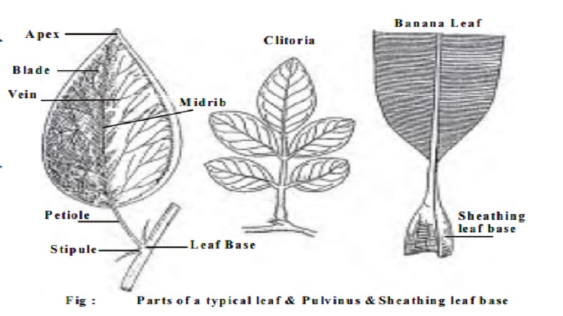 Parts of a Leaf : 1. Leaf base 2. Petiole 3. Lamina