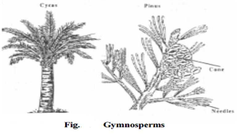 Salient features and Distinguishing features of Gymnosperms