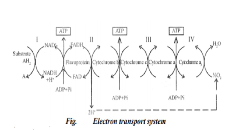 Plant Respiration : Electron transport chain - study ...