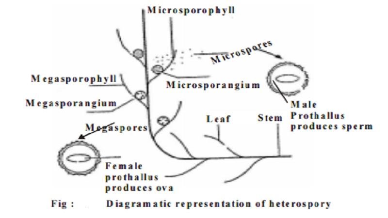 Characteristics of Pteridophytes and Economic importance