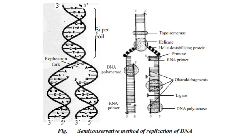Function and Replication of DNA