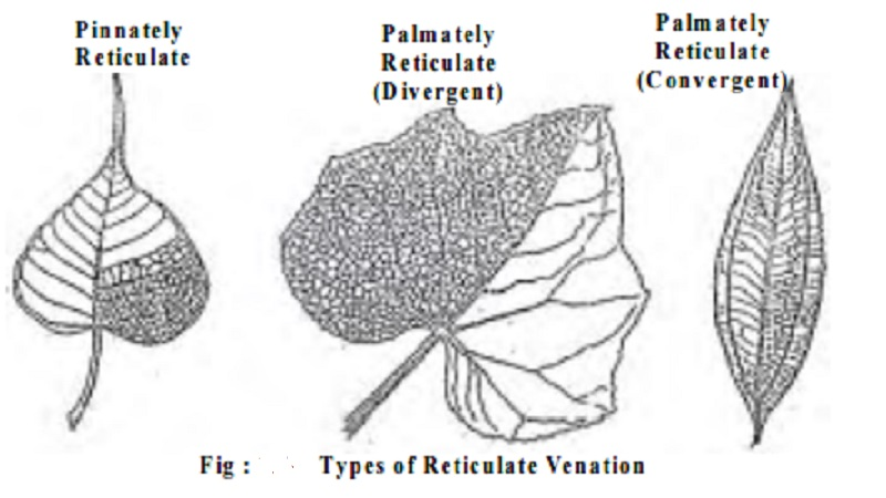 Leaf Venation : Reticulate, Parallel : Pinnately, Palmately