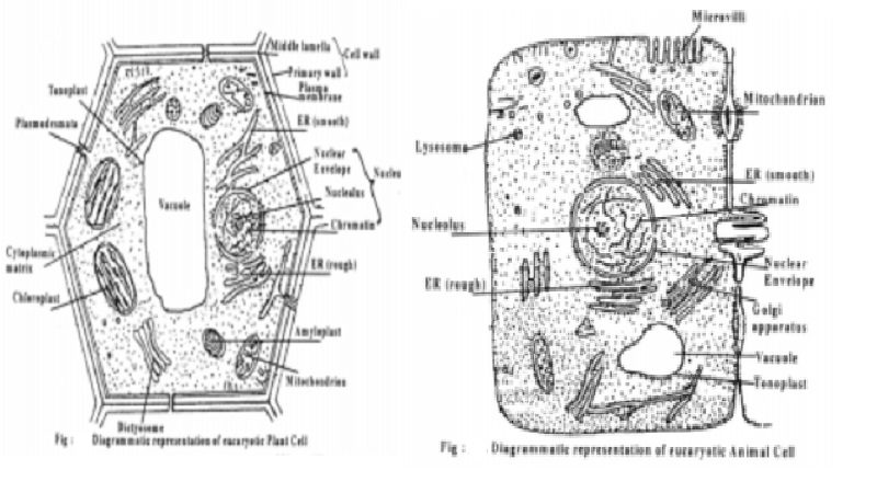 Dynamic nature of cell , Difference Between Plant Cell And Animal cell