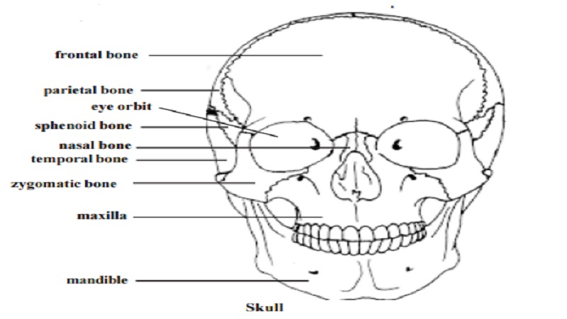 skull - human skeletal system - study material lecturing notes, Human Body