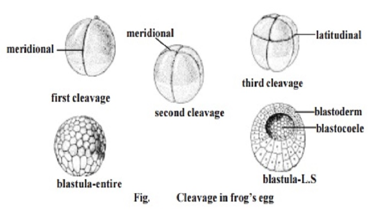 Cleavage and types - Frog's egg
