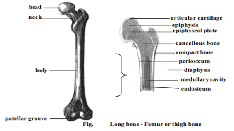 Structure of a typical long bone