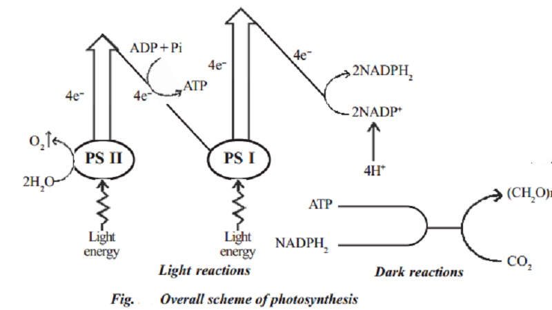 Photochemical and biosynthetic phases, Mechanism of photosynthesis