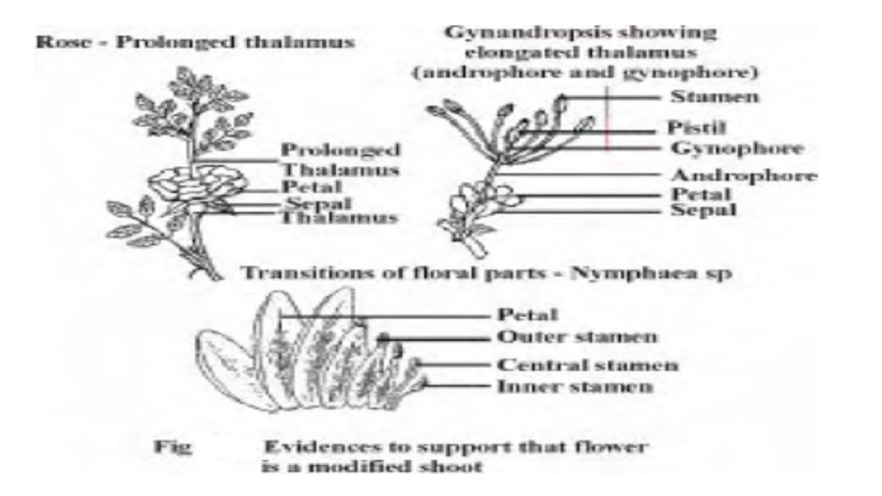 FLOWER - A Metamorphosed Shoot : Evidences to support that flower is a modified shoot