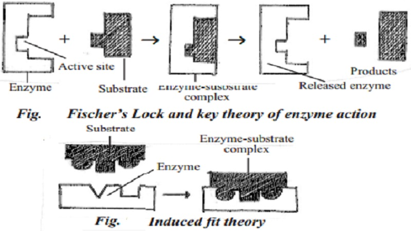 Theories explaining the mechanism of enzyme action