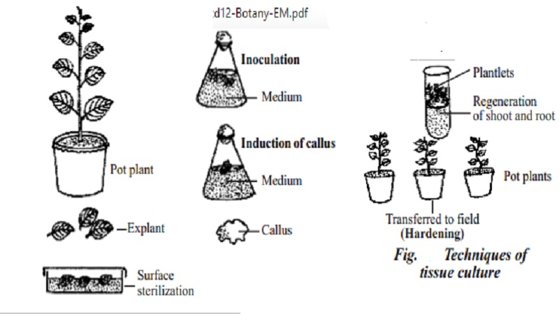 Basic techniques of plant tissue culture