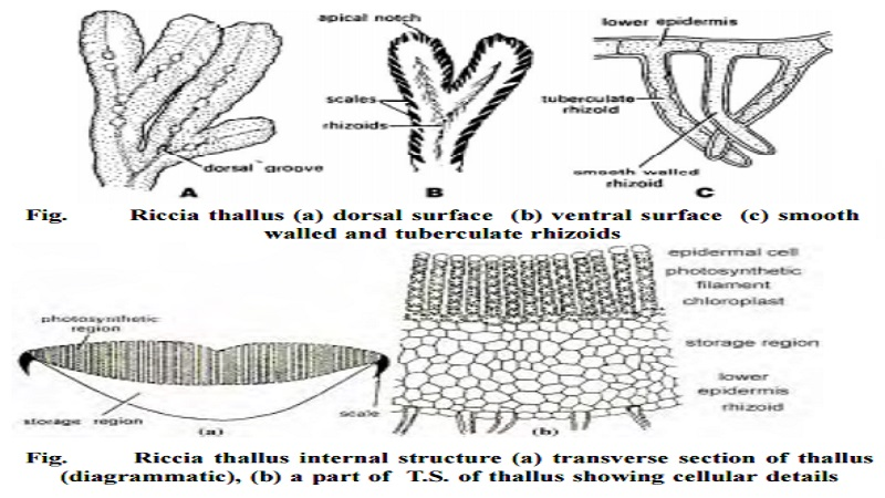 Riccia And The structure of mature gametophyte