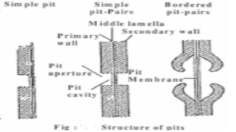 Plasmodesmata, pits and Functions of cell wall