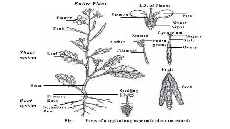 Morphology of flowering plants or Angiosperms - short notes
