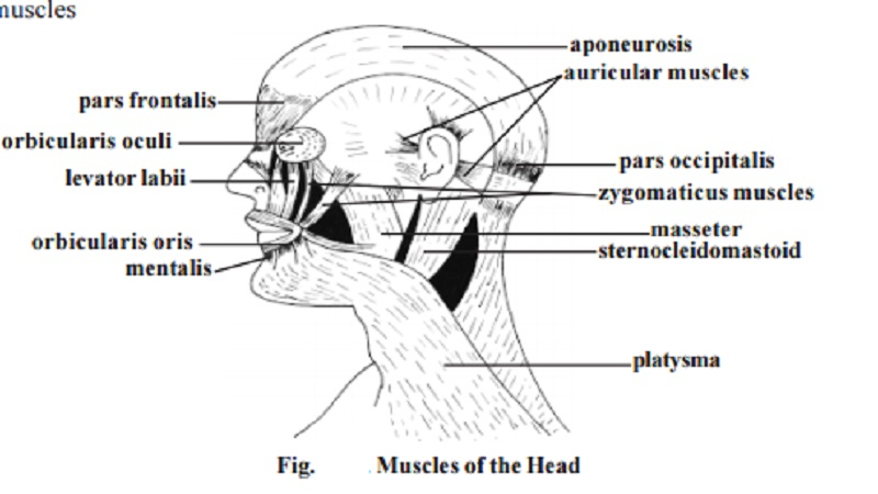 Distribution of human muscles - Muscles of the human head, Muscles of the Neck region, Muscles of the Trunk region, Muscles of the upper limb, Muscles of the lower limb