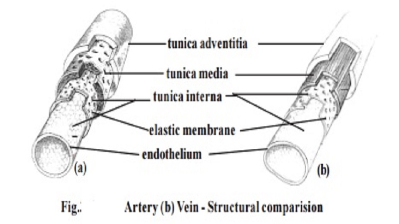 Components of Human Circulatory system : Blood vessels, Types of blood vessels, The Heart
