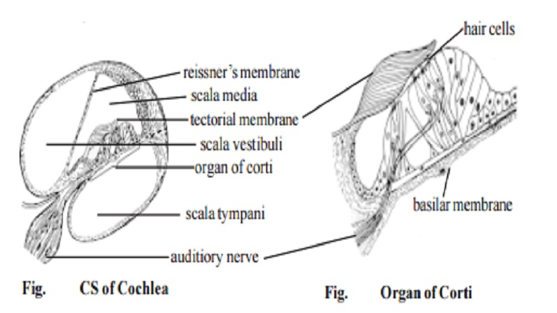 Mechanism of hearing human ear study material lecturing notes mechanism of hearing human ear ccuart Gallery