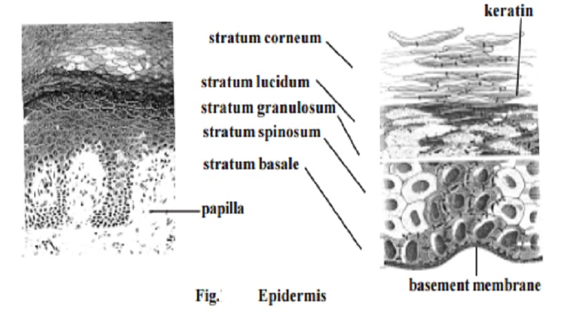 The Integumentary System - hypodermis, Epidermis, Callus, Skin color, Hair, glands, Nails