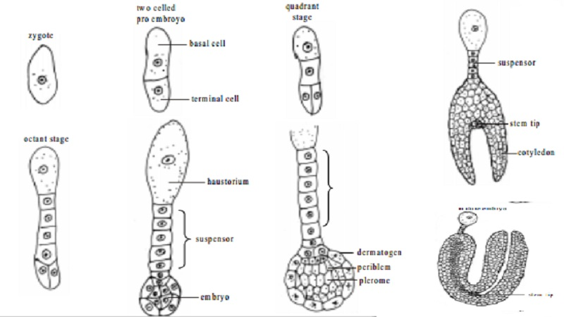 Development of dicot embryo