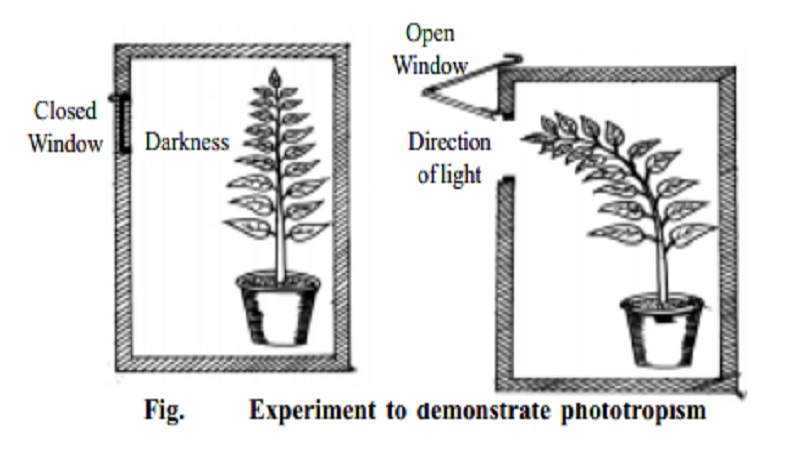 phototropism and turgor growth movements