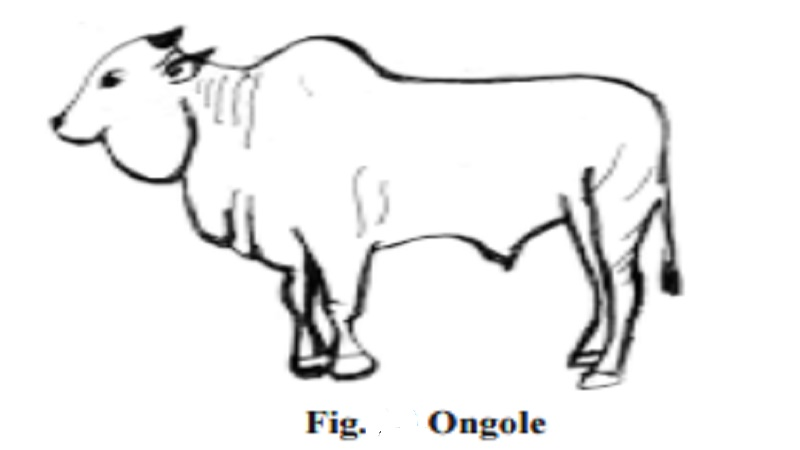 Dual purpose Cattle breeds - Ongole : Nellore