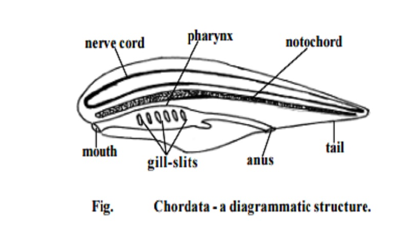 Phylum Chordata and Diversity and General Characters of Chordates