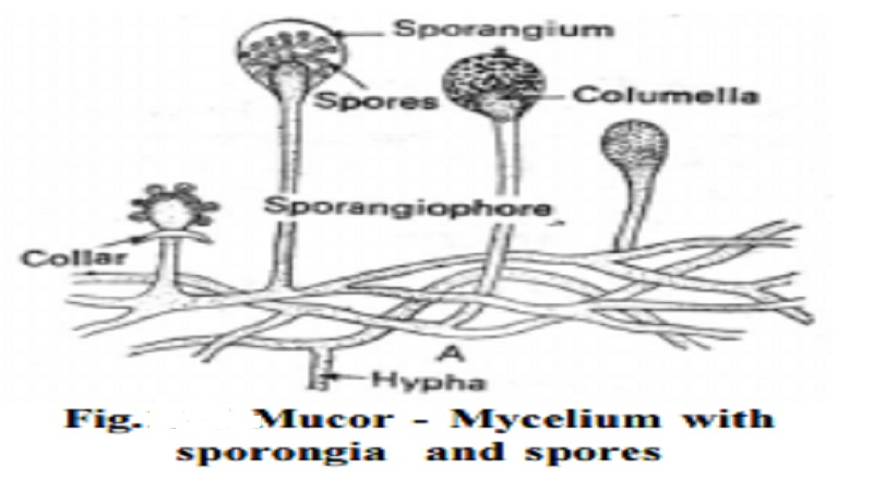 Mucor : Occurrence, Reproduction, Somatic structure