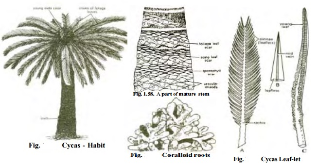 Cycas - Morphology of sporophyte