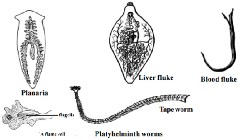 Phylum: Platyhelminthes