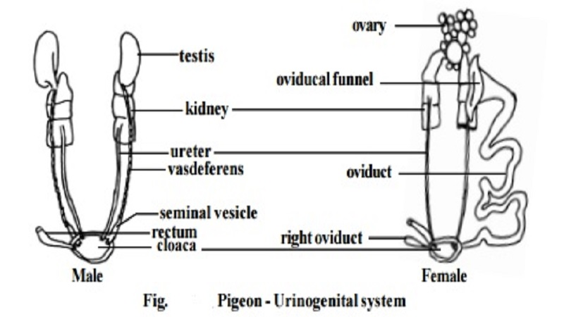 Pigeon Urinogenital System And Male Female Reproductive Organs