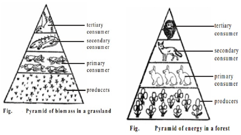 Ecological Pyramids : The pyramid of numbers, biomass, energy