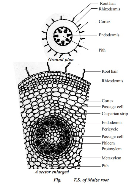 Primary structure of monocotyledonous root - Maize root
