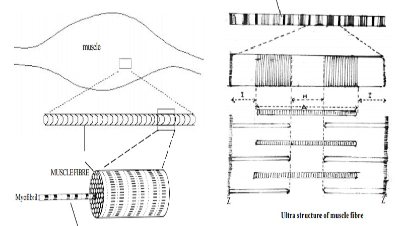 Structure of a skeletal muscle, sarcomere